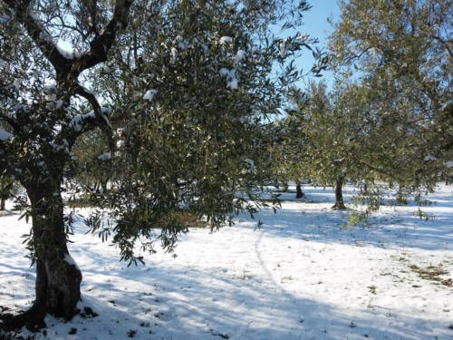 olive-orchard-with-snow