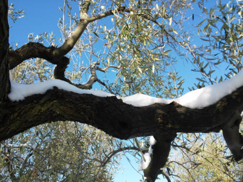 olive-tree-branch-with-snow