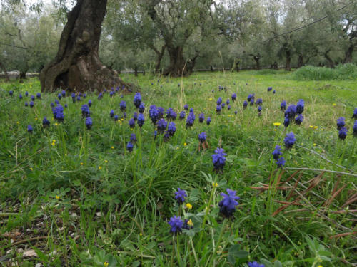 muscari-neglectum